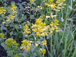 Winter Cress