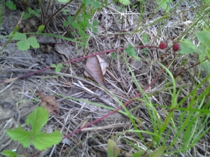 wild strawberries (runners)