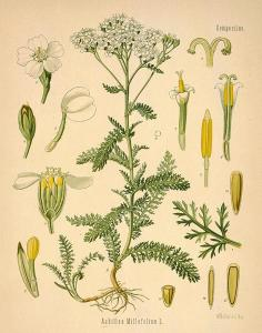 yarrow-drawing